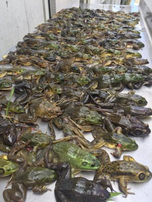 Legs anyone???   Frog Gigging Adventures  Visit us at www.ce...